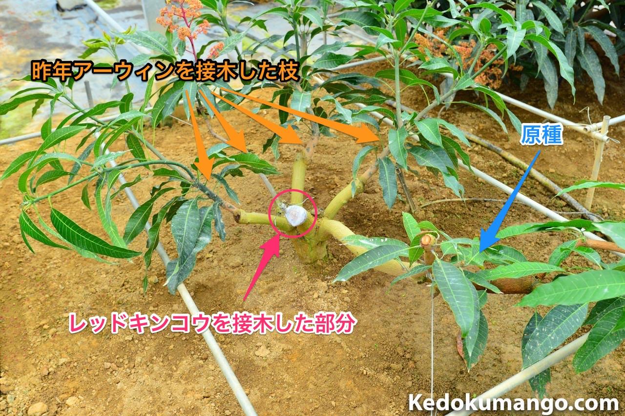 マンゴー原種へアーウィンとレッドキンコウの接木を施したところ
