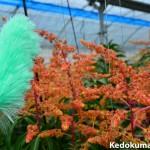 徳之島のマンゴー栽培では、「花がら」落としが始まりました!