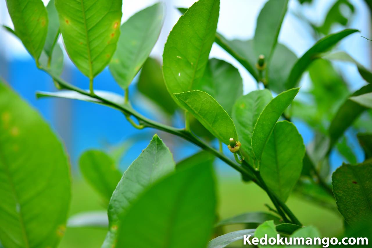 2016年4月下旬の徳之島で栽培するレモンの着果の様子_1