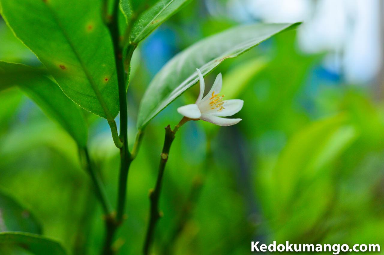 徳之島で栽培するレモンの花