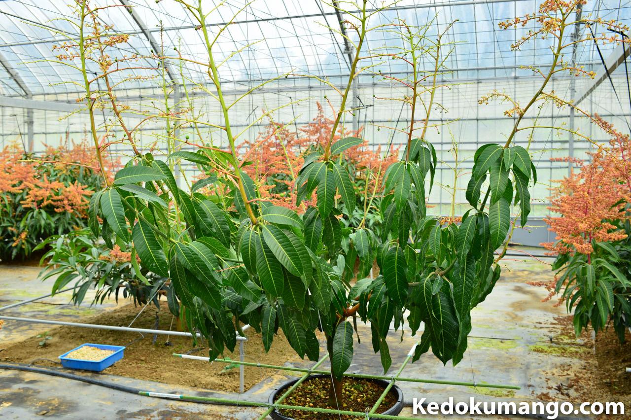 2016年4月下旬の徳之島で栽培するキーツマンゴーの様子_1