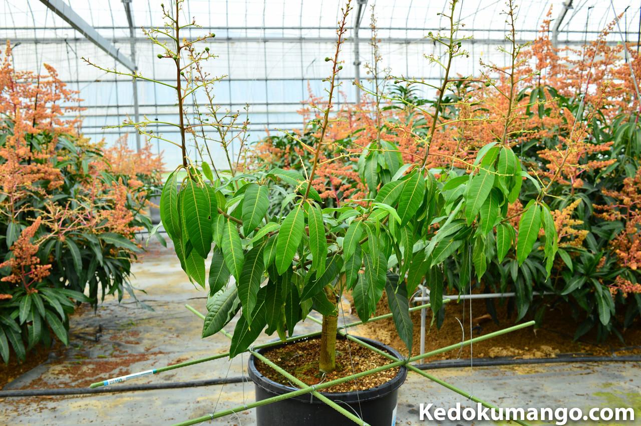2016年4月下旬の徳之島で栽培するキーツマンゴーの様子_
