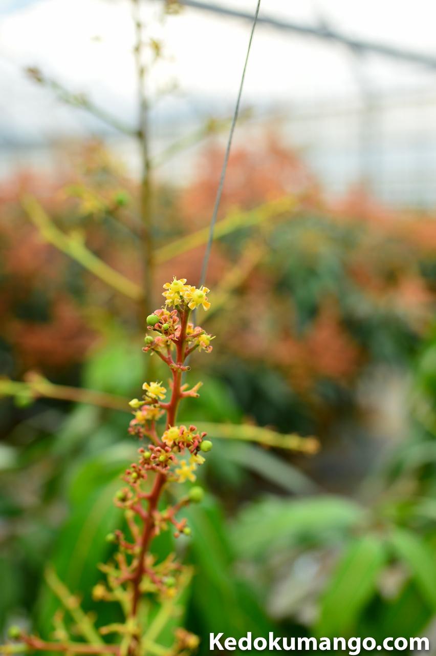 徳之島で栽培するキーツマンゴーが花を咲かせている様子
