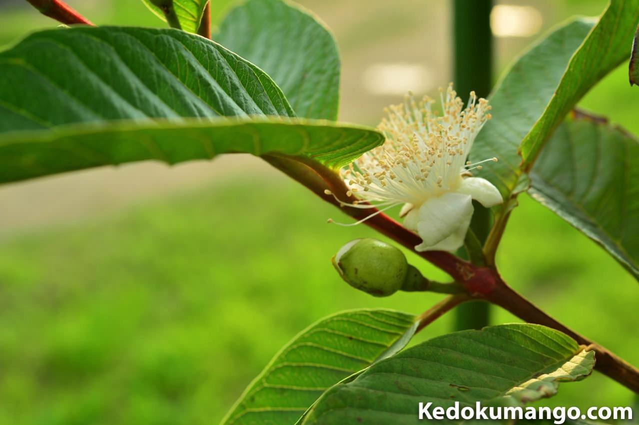グアバ(ばんしろう)が蕾から開花するまで! | 花徳マンゴー