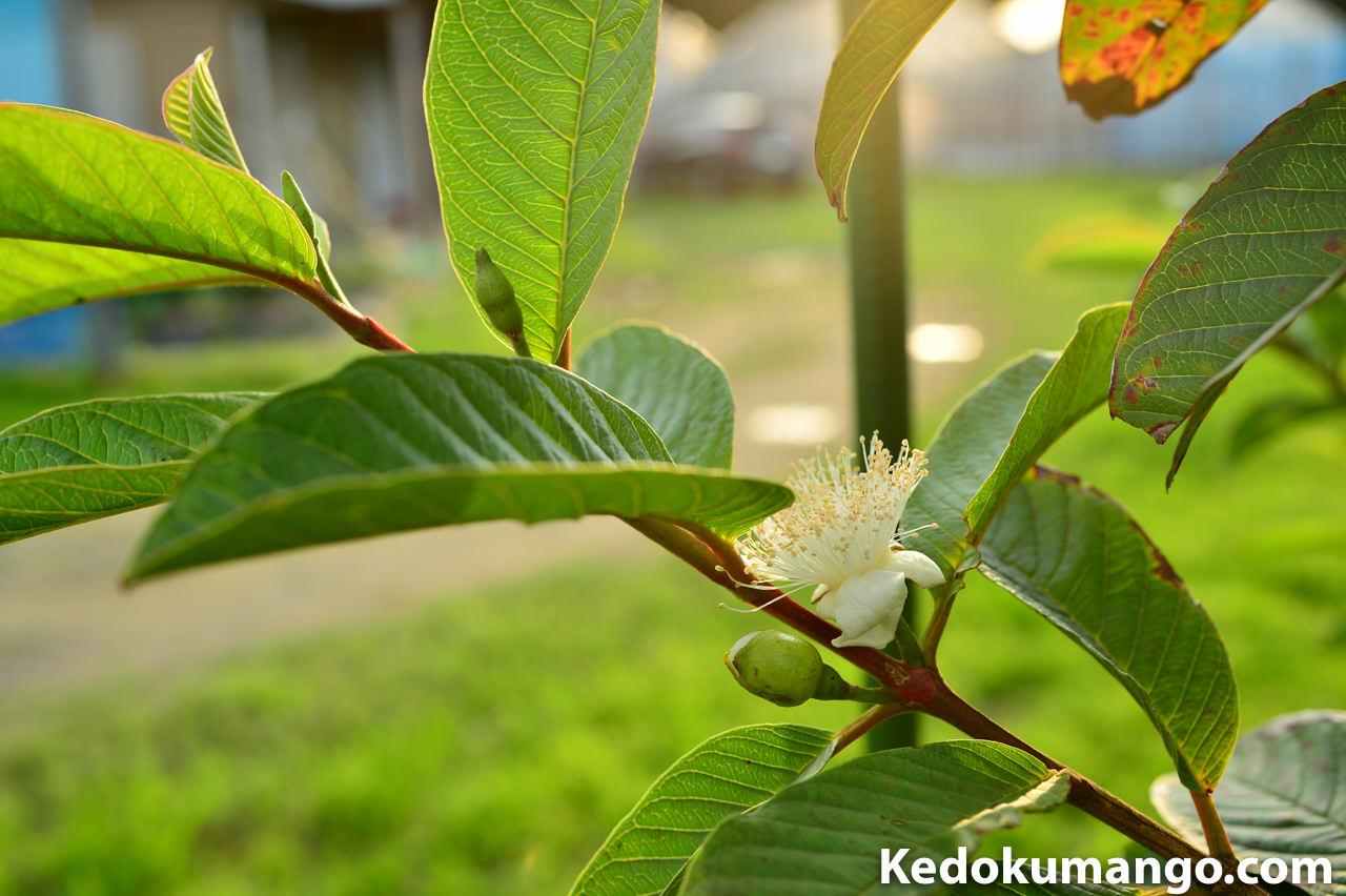 徳之島で栽培するグアバの花_1
