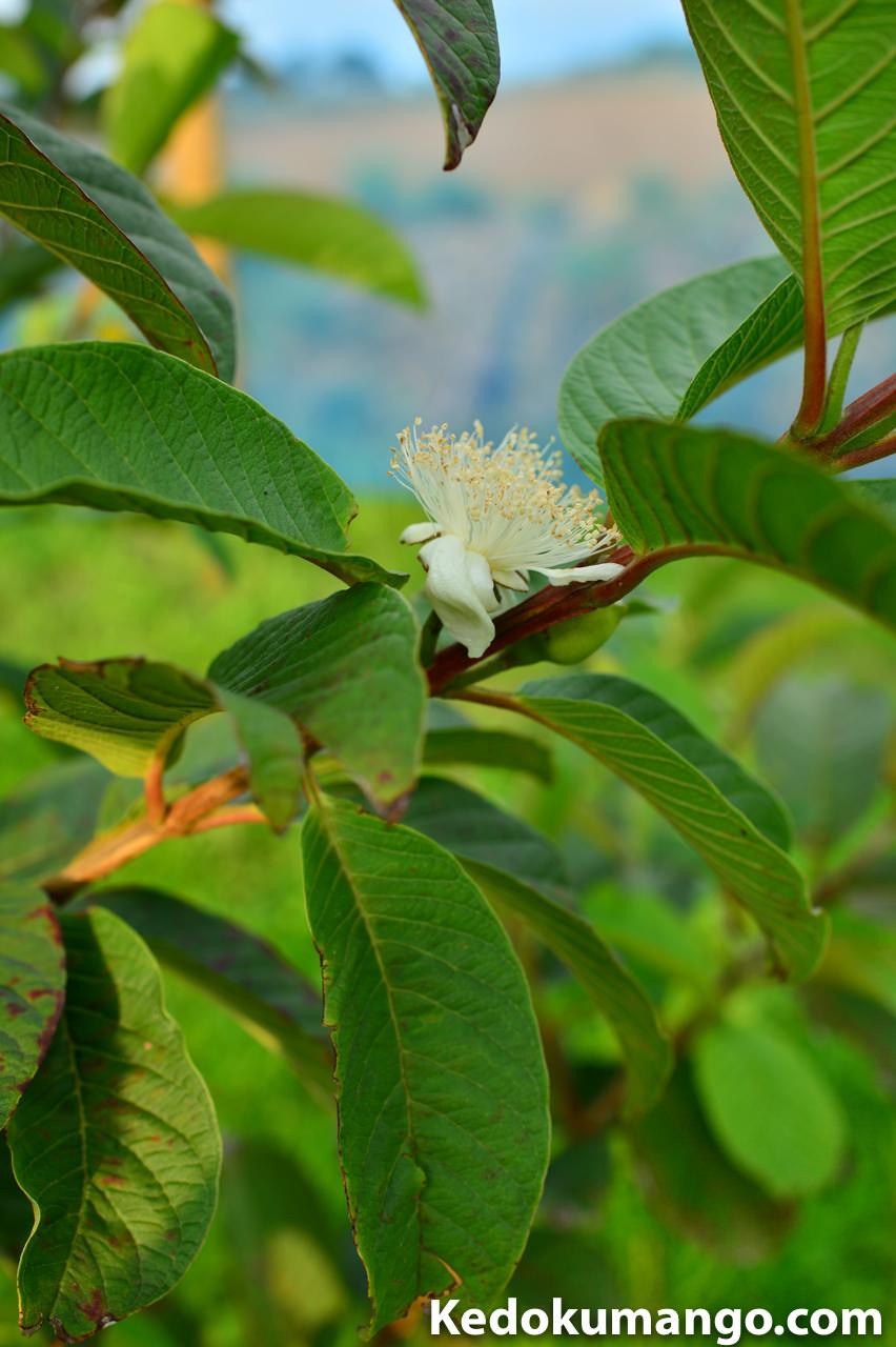 徳之島で栽培するグアバの花_2