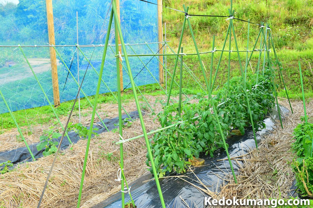 徳之島で家庭菜園を楽しむ4月下旬のトマトの様子