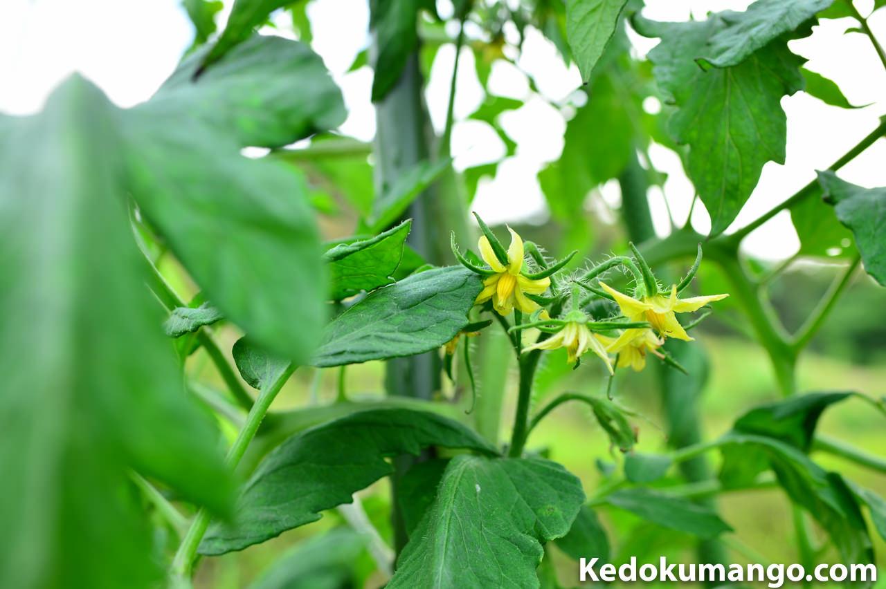 徳之島の家庭菜園で栽培するトマトの花