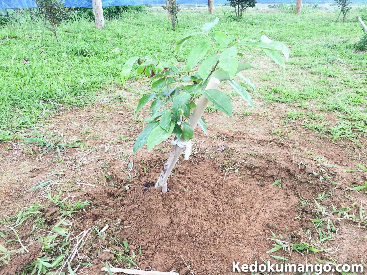 レイシ(ライチ)の苗木を定植した様子-2