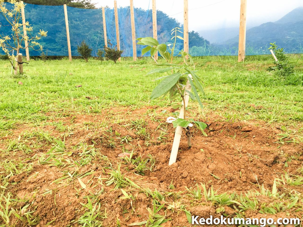 レイシ(ライチ)の苗木を定植した様子-1