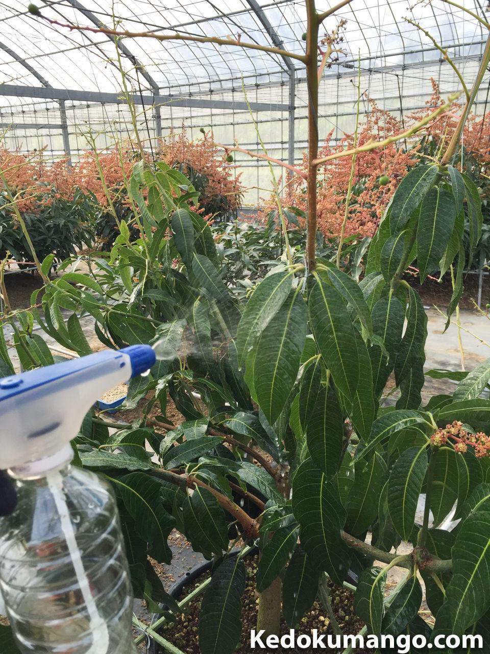 キーツマンゴーへ液体肥料を葉面散布している様子