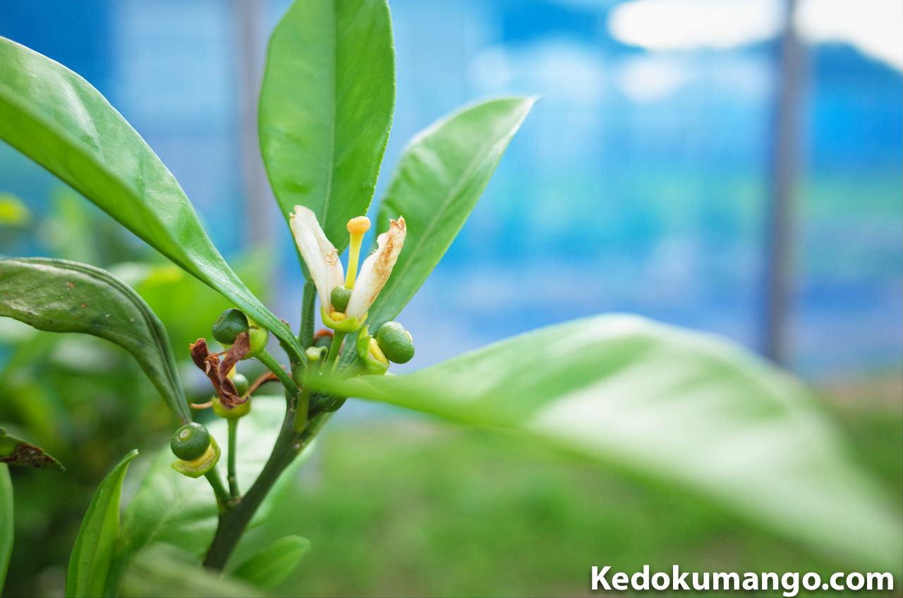 みかんの花びらと果実