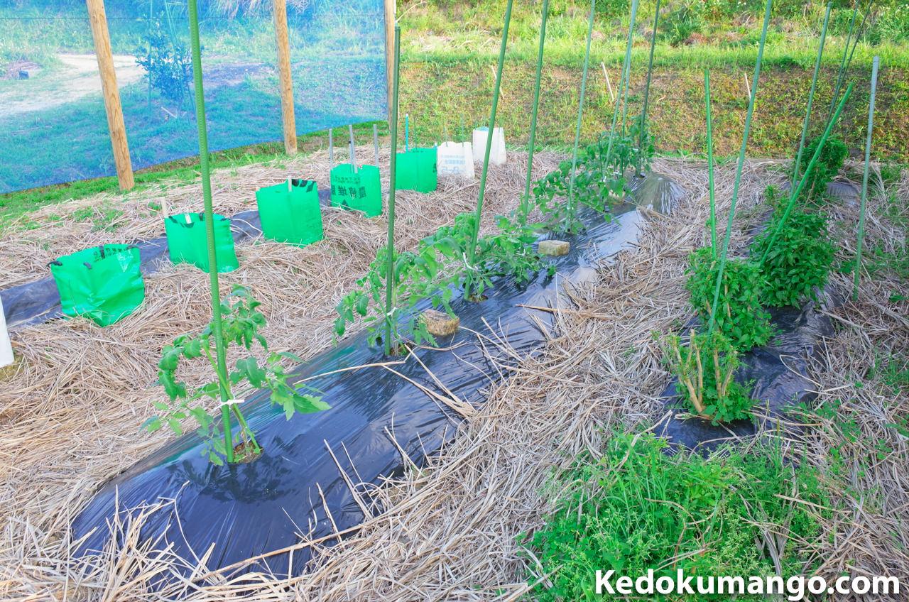 4月上旬の家庭菜園のトマトの様子