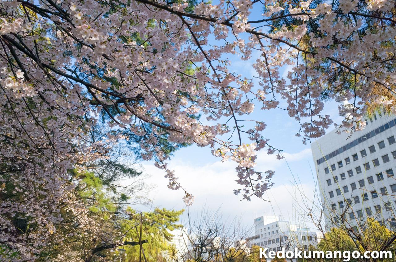 雨の合間に撮影した松山市での桜