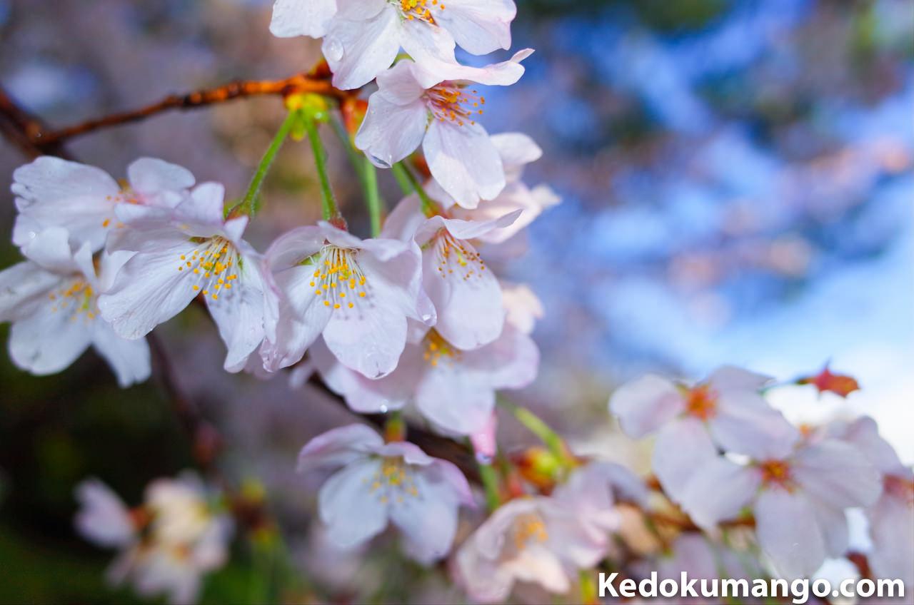 桜をRicoh GR2で撮影