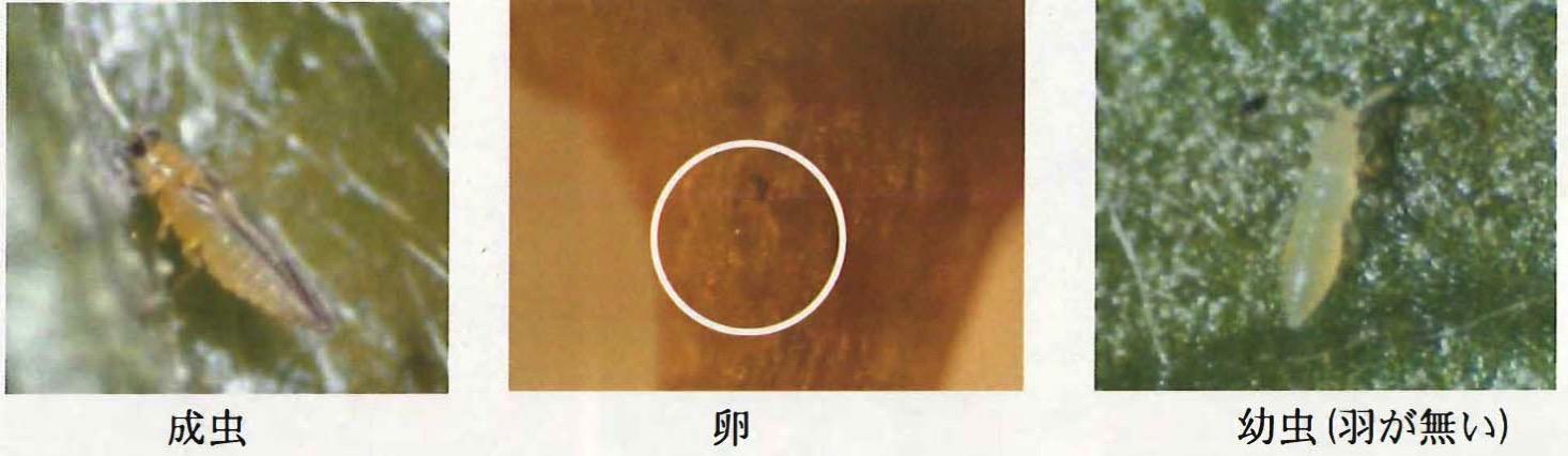 マンゴーの害虫「スリップス」の画像