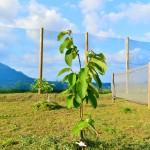 【熱帯果樹】5月の『チェリモヤ』と『アテモヤ』の成長の様子をご紹介!