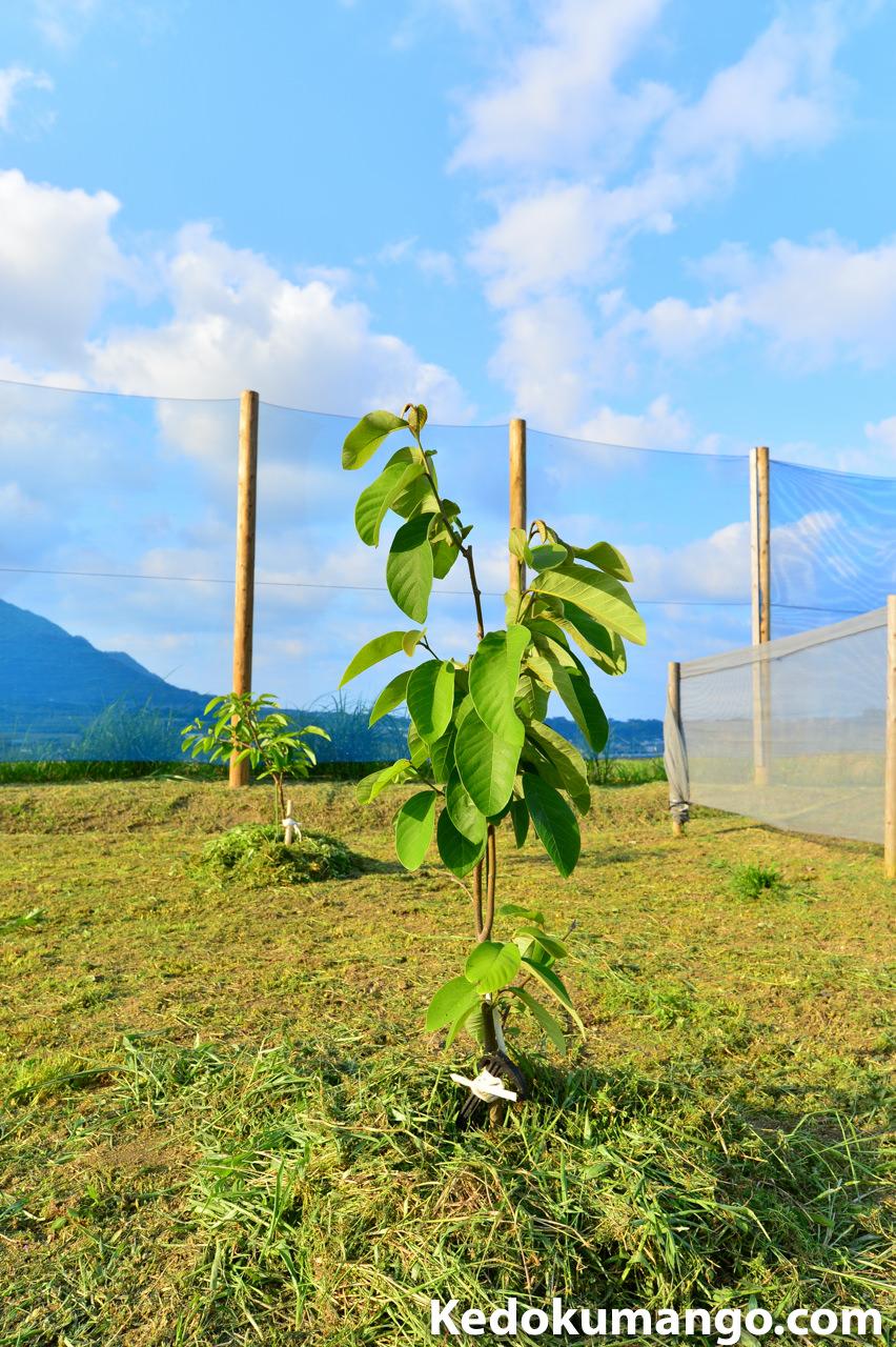 【熱帯果樹】5月の『チェリモヤ』と『アテモヤ』の成長の様子をご紹介! | 花徳マンゴー