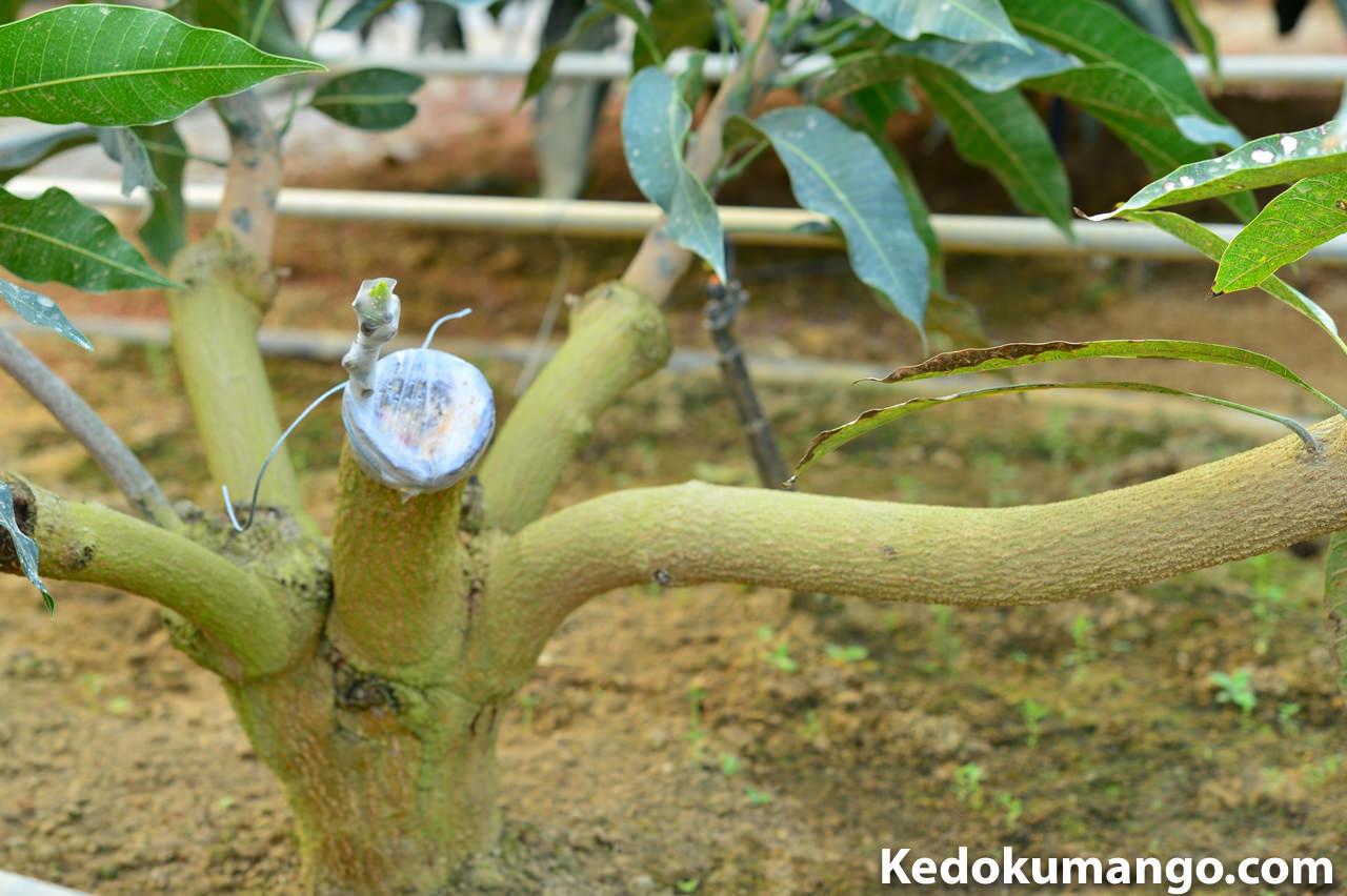 マンゴーの接木の様子