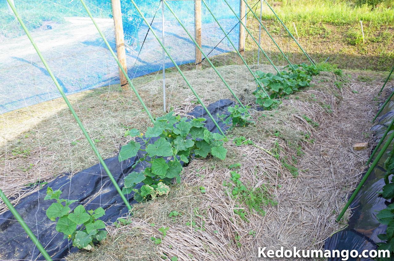 家庭菜園の5月上旬のきゅうりの様子