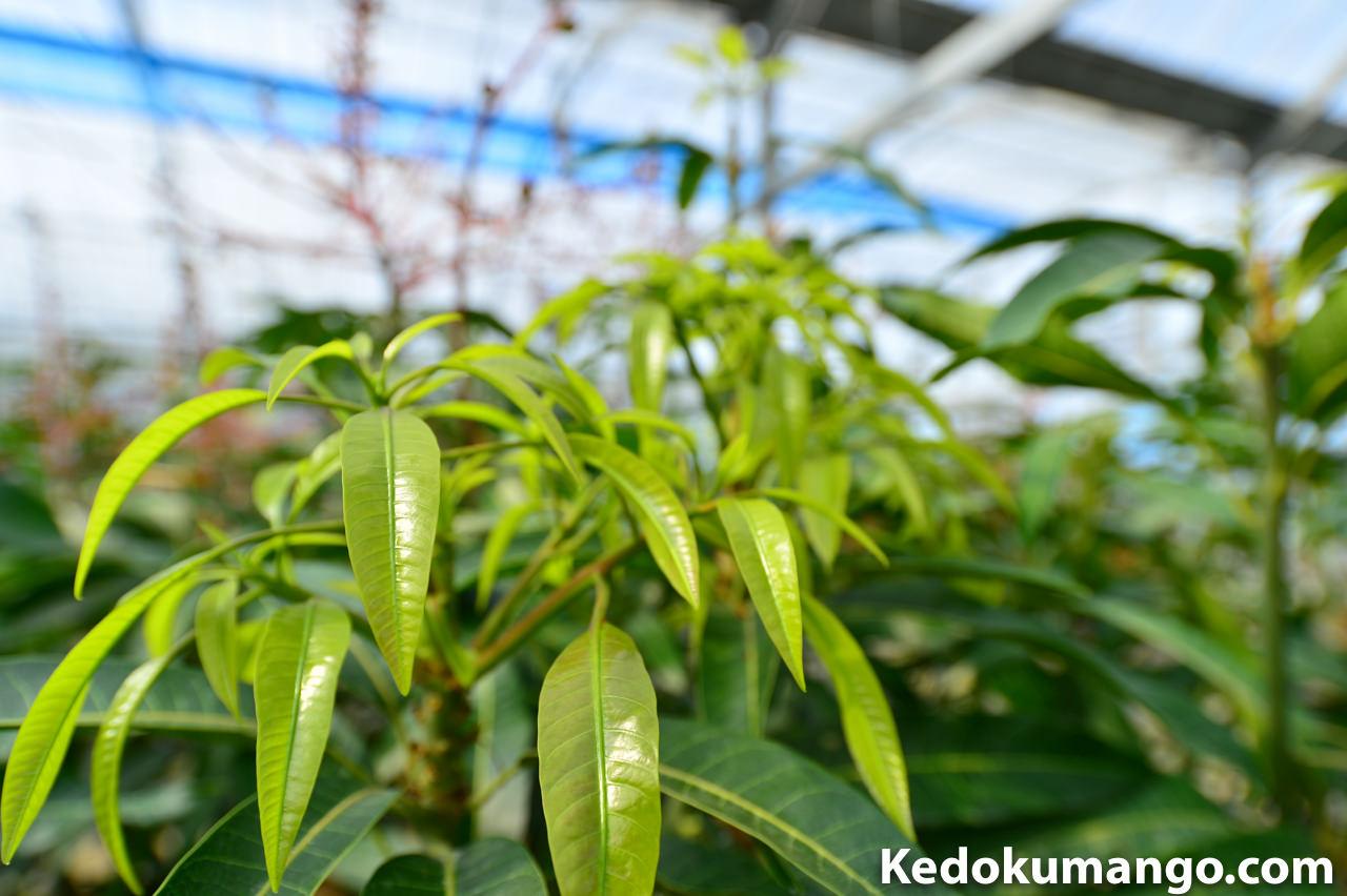 5月上旬のマンゴーの新芽の様子
