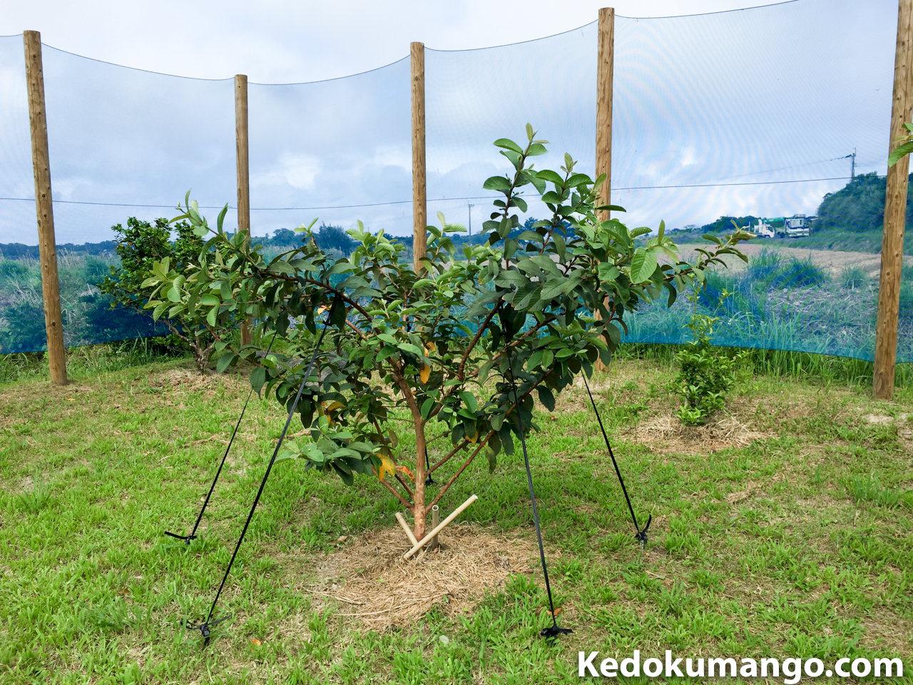 グアバの樹へ整姿の為に誘引作業をおこなったよ! | 花徳マンゴー