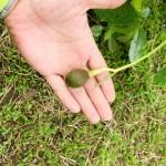【徳之島】で栽培する2016年5月のアボカドの果実の肥大の様子をご紹介!
