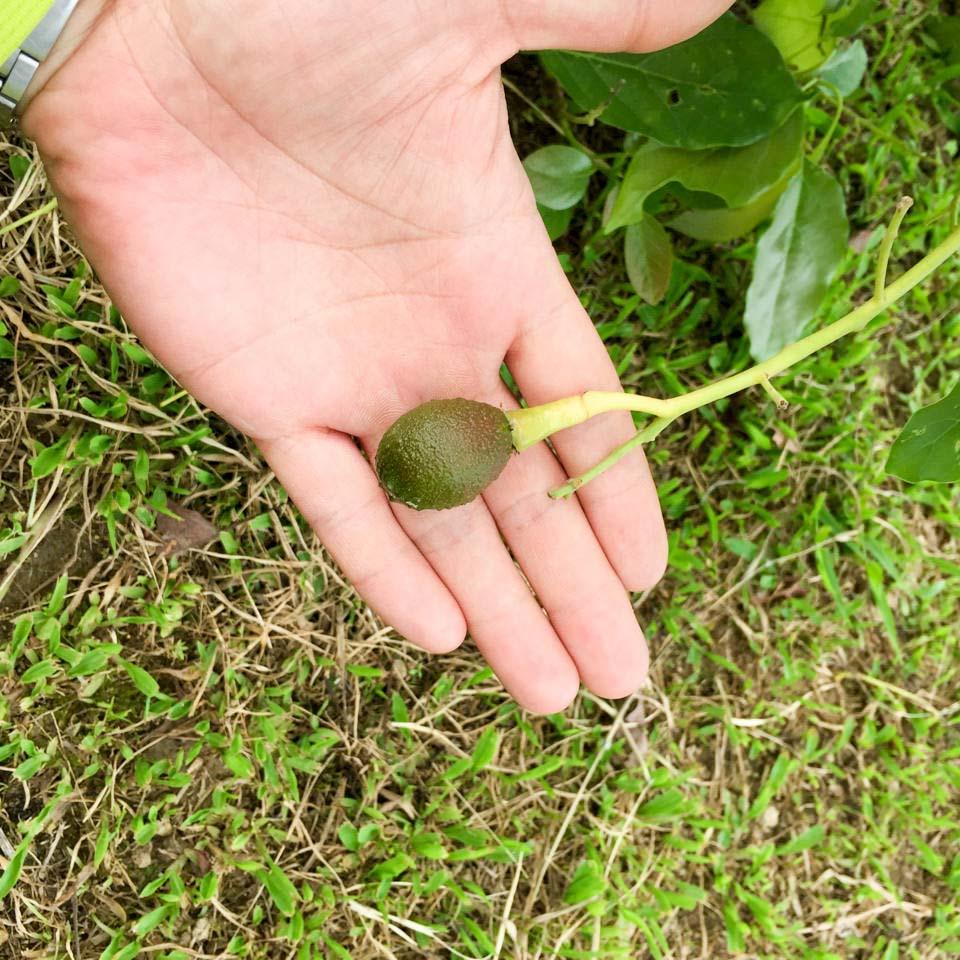 徳之島で栽培する2016年5月のアボカドの果実の肥大の様子をご紹介! | 花徳マンゴー