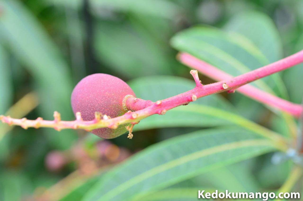 マンゴーの正常な幼果の例_4