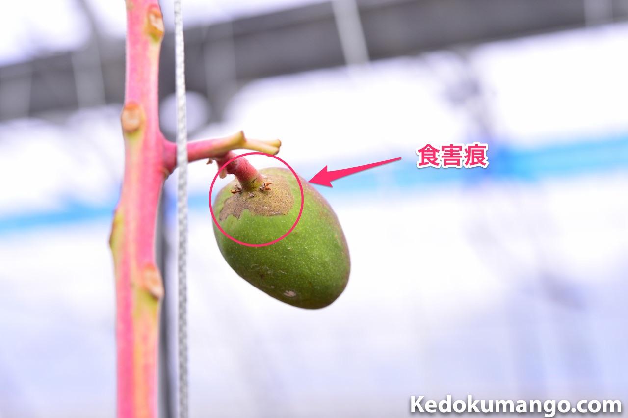 スリップから受けたマンゴーの幼果の例_2