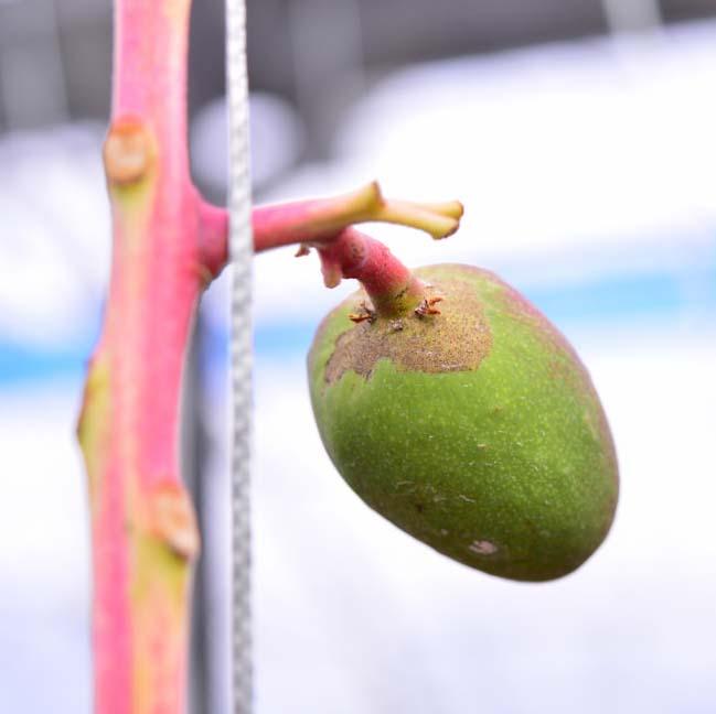 これがマンゴーの天敵「スリップス」による果実の被害だ! | 花徳マンゴー