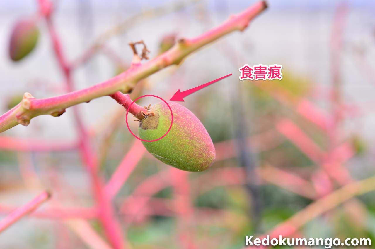 スリップから受けたマンゴーの幼果の例_3