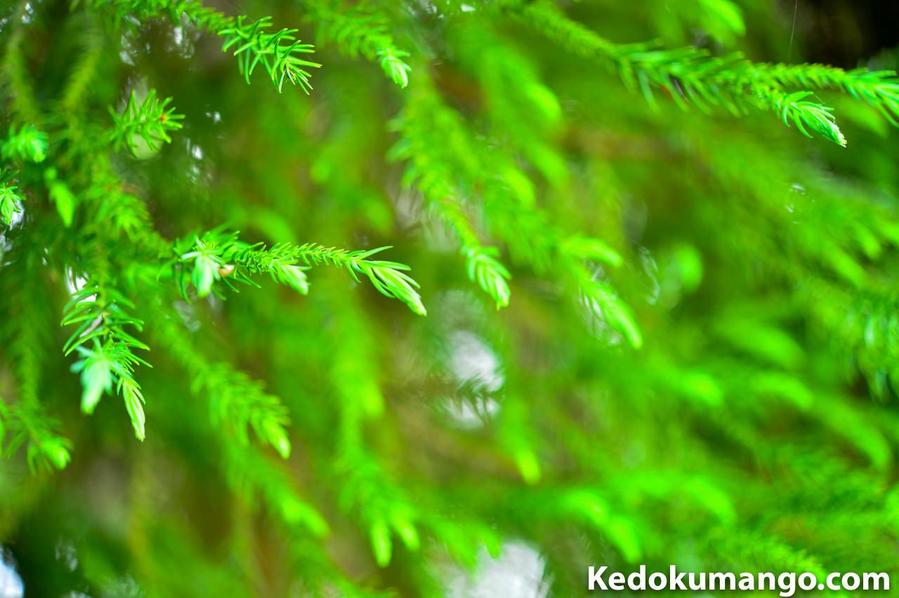 「Rojiura Cafe(路地裏カフェ)」の裏山の杉の葉