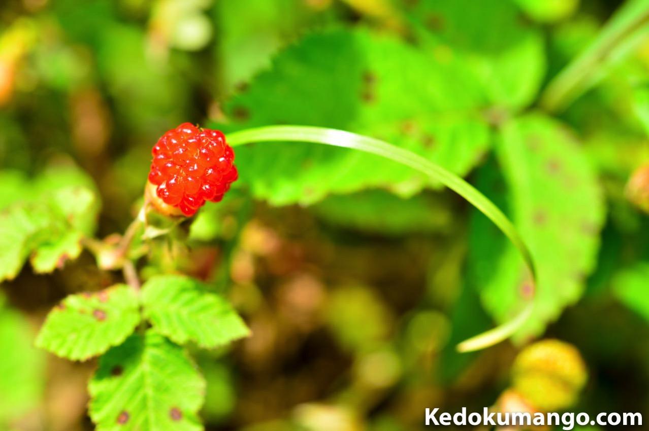 「Rojiura Cafe(路地裏カフェ)」の裏山で見つけた野苺
