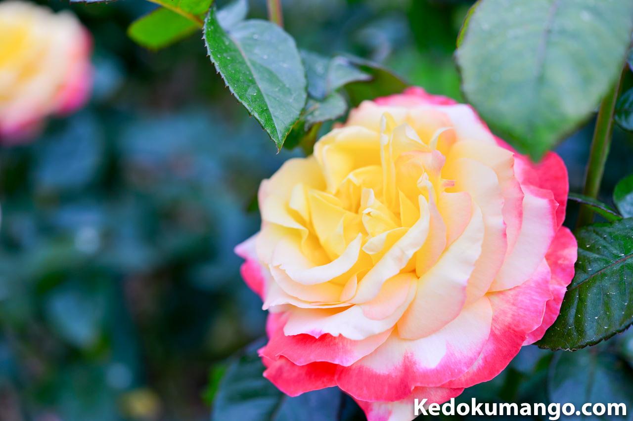 かのやバラ園でみた変わったバラの花