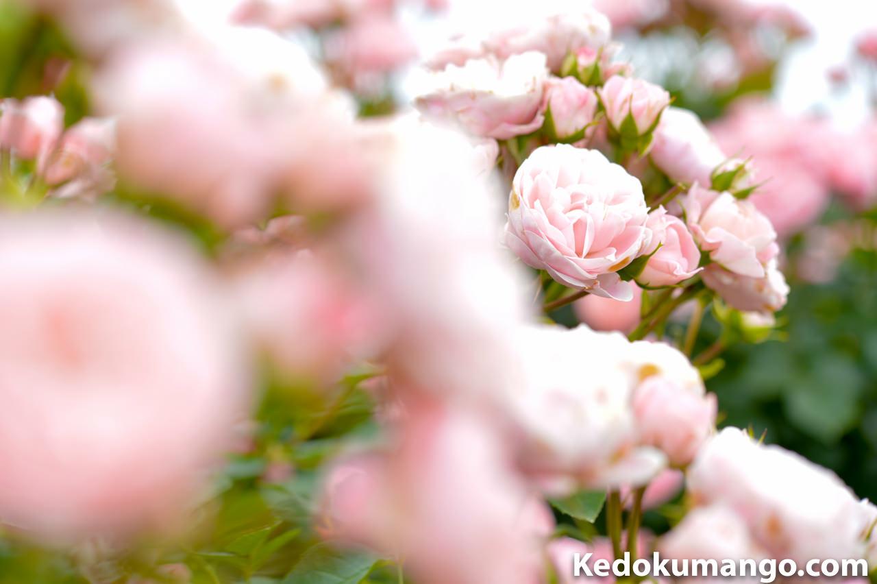 前ボケを取り入れた「かのやばら園」のバラの写真-1