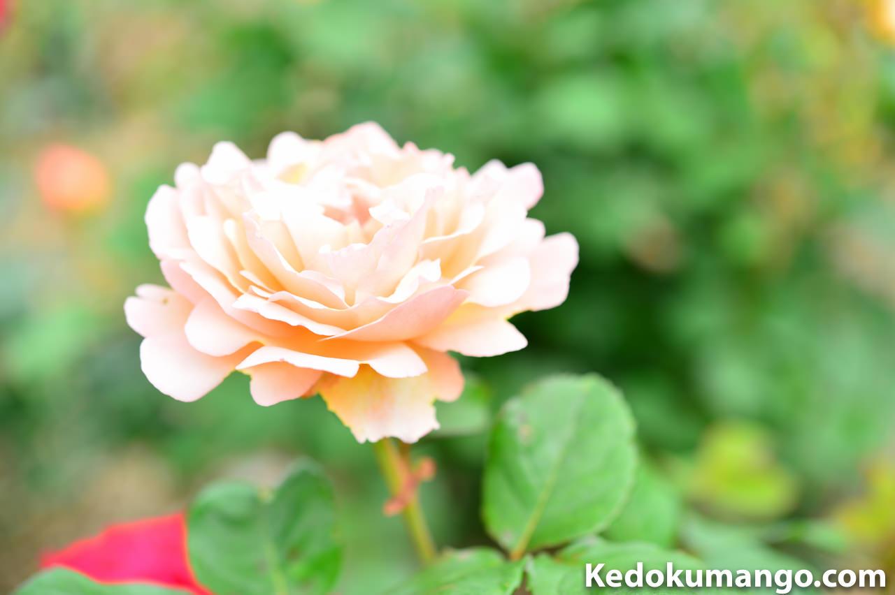 「かのやばら園」の色とりどりのバラ-3