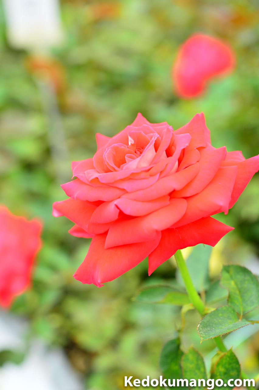 「かのやばら園」の色とりどりのバラ-1