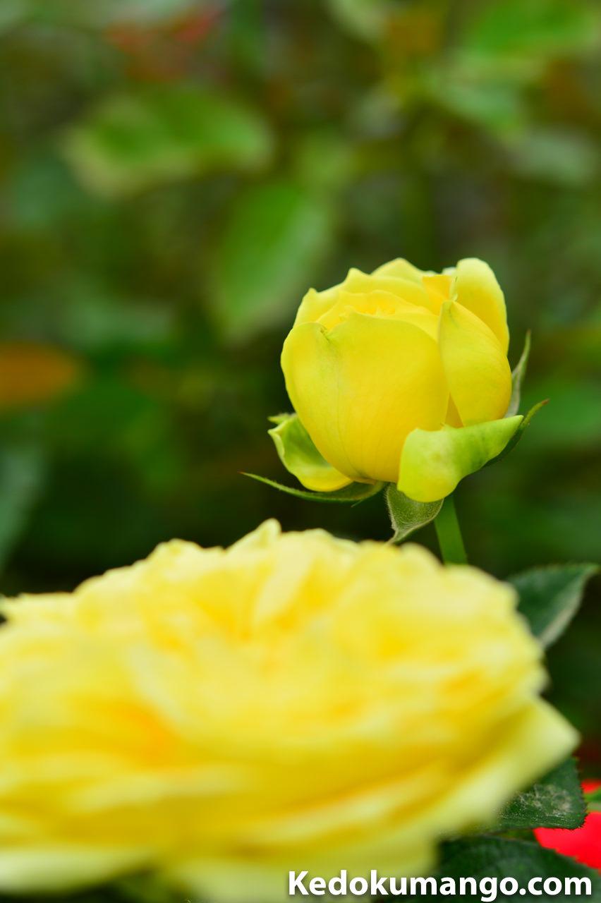 前ボケを取り入れた「かのやばら園」のバラの写真-