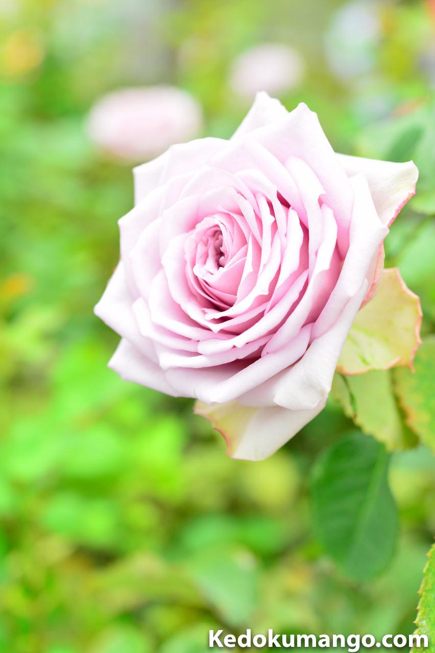 「かのやばら園」の色とりどりのバラ-2