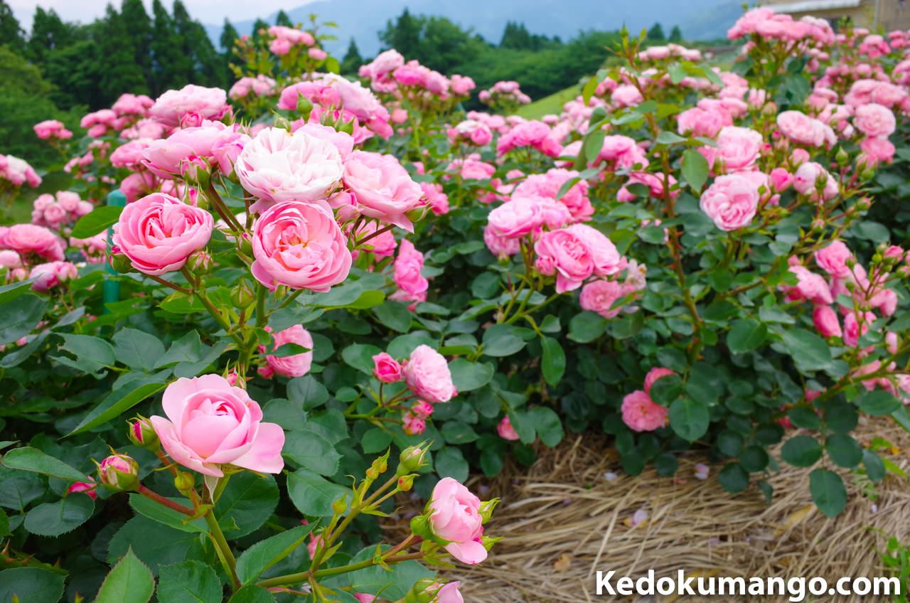「かのやばら園」の遊歩道で咲くバラ
