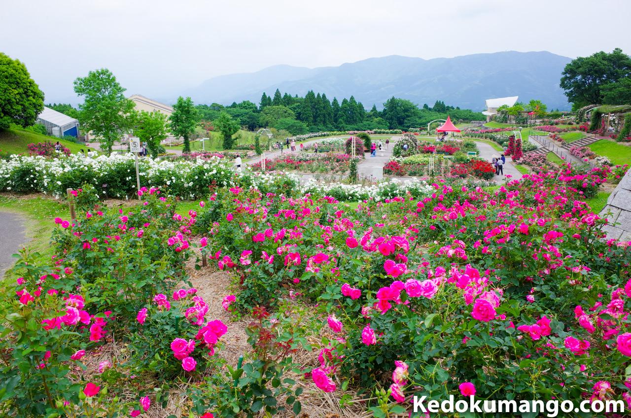 「かのやばら園」でのバラと観光客の様子