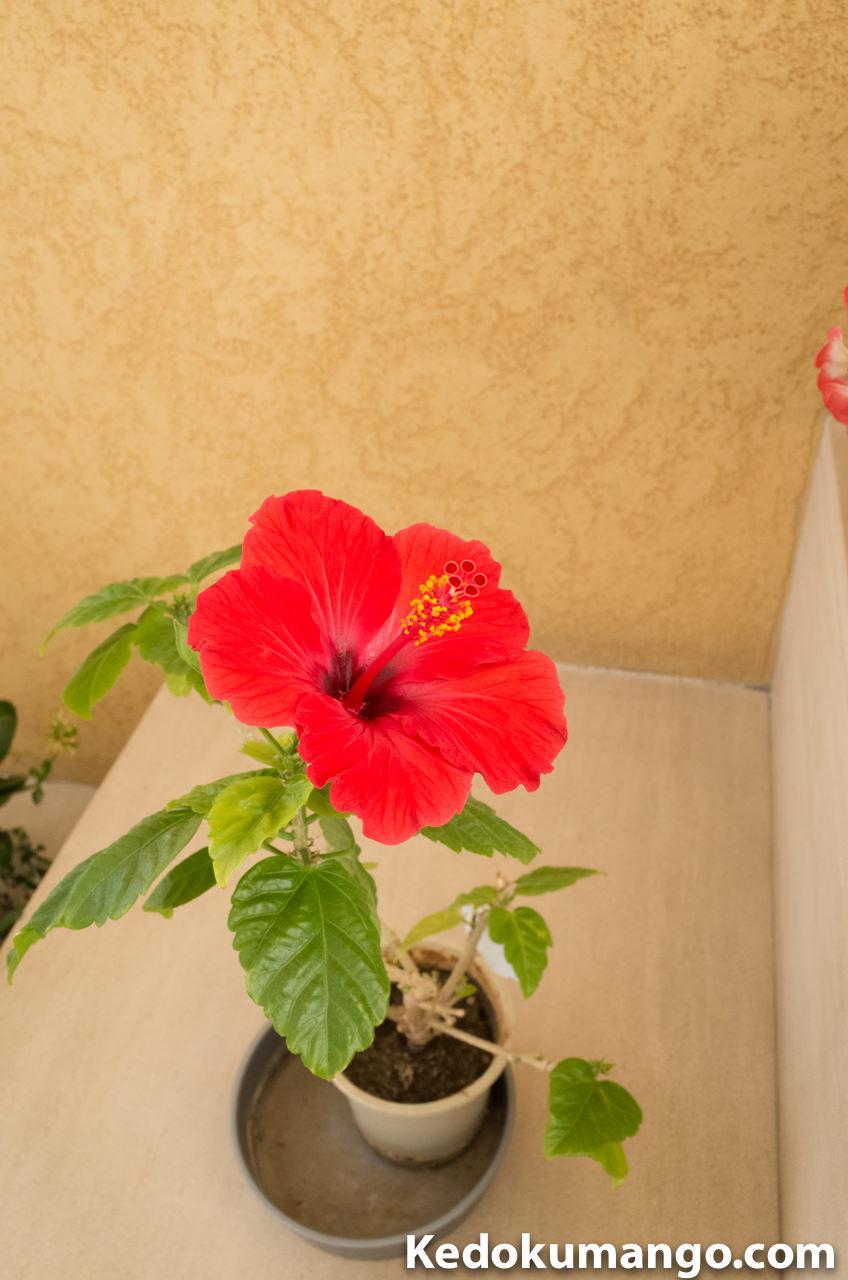 「マリンパレスかごしま」で咲いていたハイビスカス