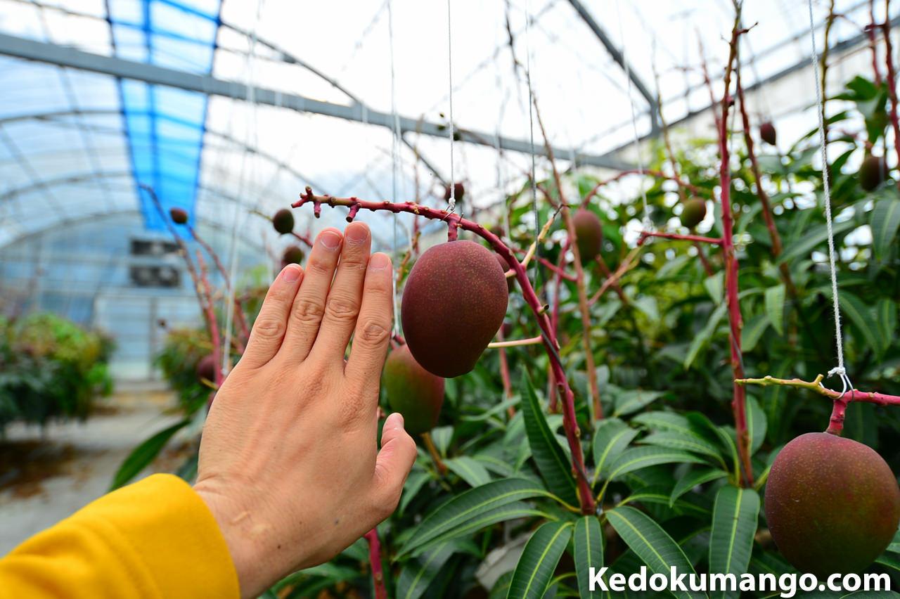 2016年のマンゴーの肥大の様子