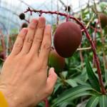 2016年夏のマンゴーの収穫量は少ない見通しとなってきました!