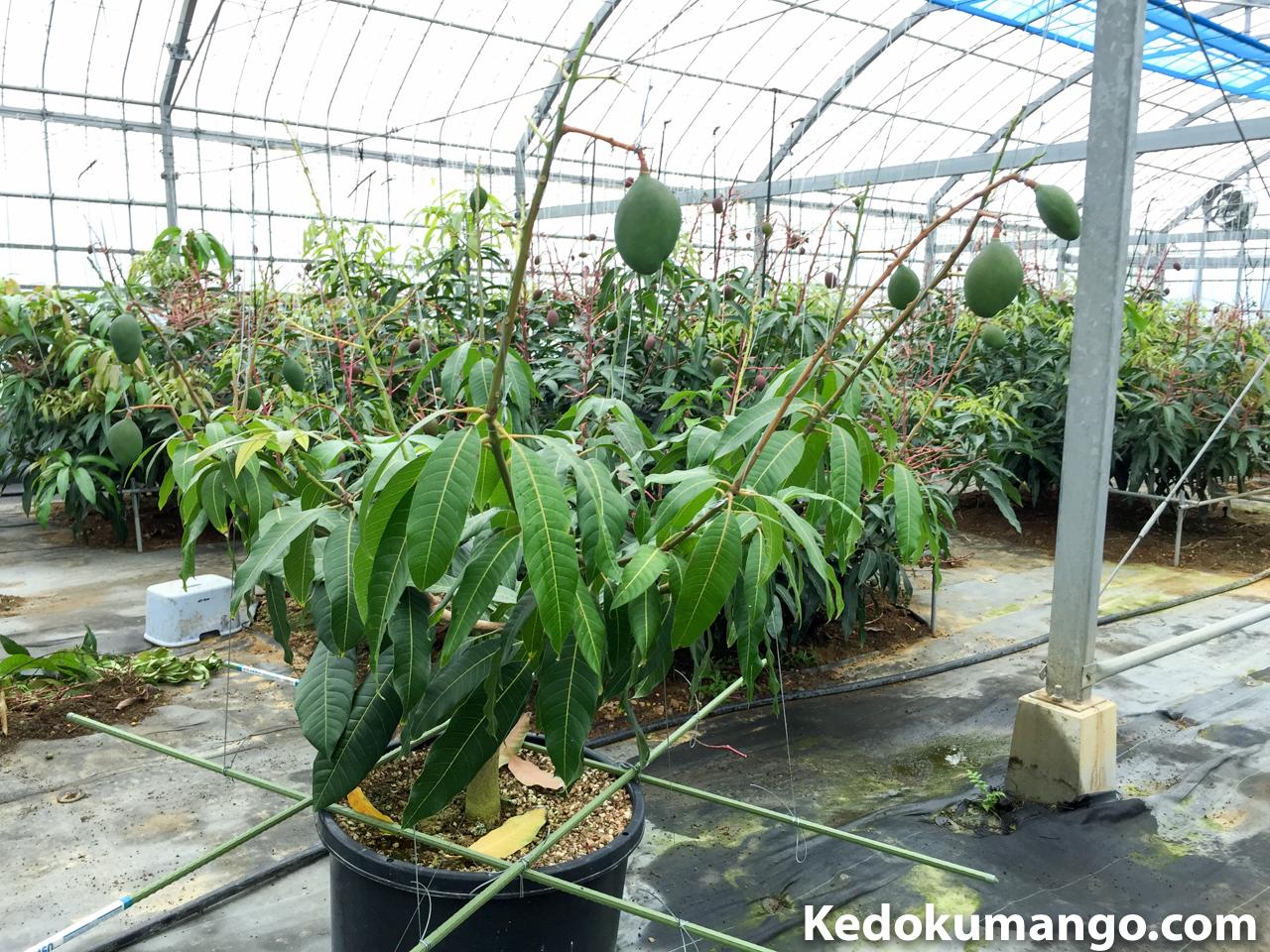 果実を肥大させながら葉が上を向いてきたキーツマンゴー-2