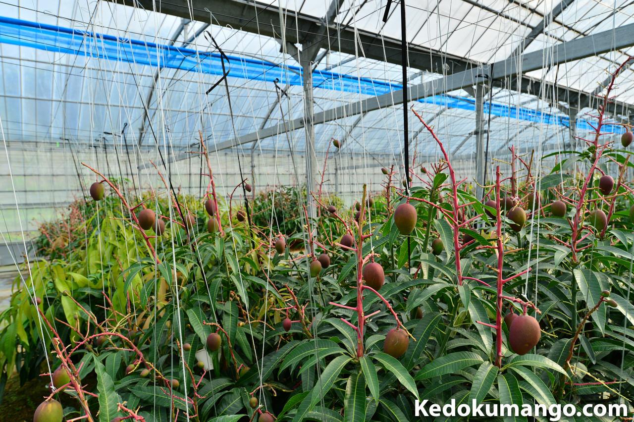 2016年のマンゴーの着果の様子