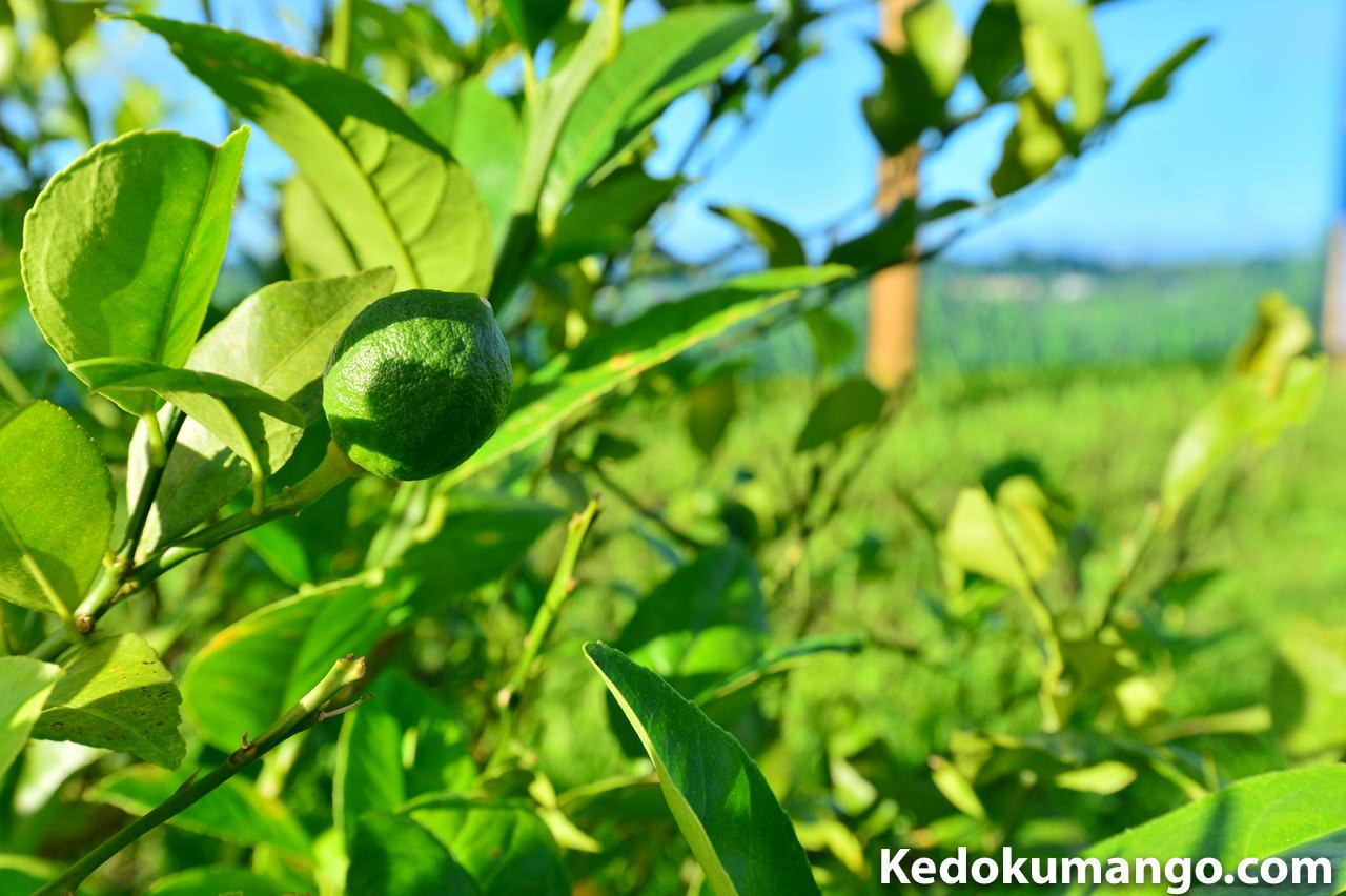 2016年5月下旬のレモンの果実肥大の様子-1