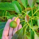 「徳之島」で栽培する2016年6月【アボカド】の果実肥大の様子
