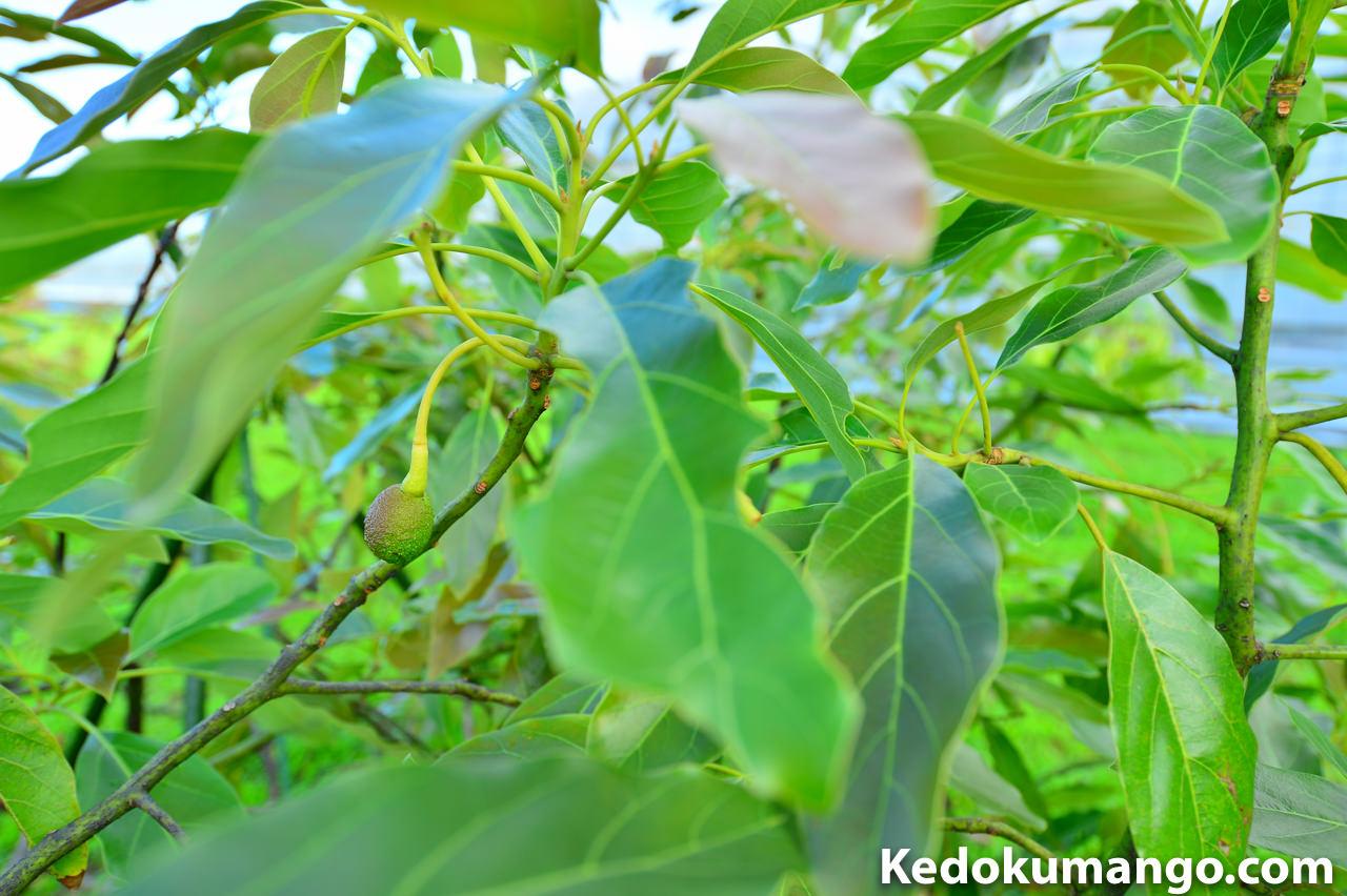 葉の影に隠れているアボカド